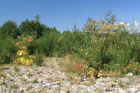 Obr. 2. Již odkvetlý, přesto stále dobře rozpoznatelný bolševník. Tato statná invazní rostlina může dosahovat výšky až pěti metrů a v České republice se šíří především v západních Čechách.