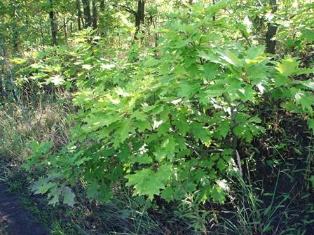 Obr. 2. Vzrostlý a u řeky Ostravice zmlazující dub červený.