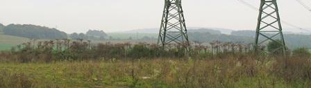 Bolševník se v posledních letech významně šíří podél silnice R4 u Mníšku pod Brdy (Autor fotografie: Adam Veselý).