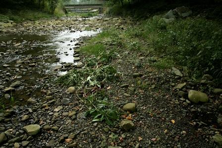 Obr. 4. Rostliny by po vytržení rozhodně neměly zůstat ležet na místě, kde by mohly znovu zakořenit, jak je tomu třeba na fotografii náplavu řeky Čeladenky (Autor fotografie: Veronika Kalníková).
